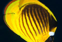 BD-150228-Ras-Mohammed-7357-Chaetodon-fasciatus.-Forsskål.-1775-[Diagonal-butterflyfish].jpg